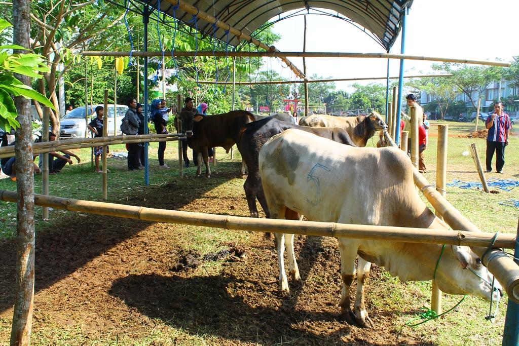 Tampak sapi qurban sedang berada di kandang sementara